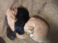 Cockapoo puppies only 1 left