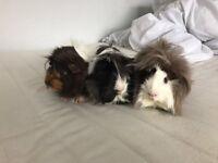 3 Males Guinea Pigs (one Peruvian, mini Yak, and crossbread )