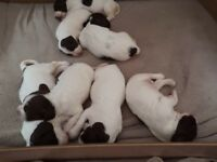 KC registered Springer spaniel puppies