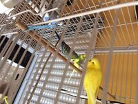 4 BUDGIES & CAGE WITH ACCESSORIES