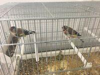 siberian goldfinch