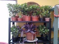 MONEY TREES (Jade plants) Indoor/Outdoor £5 up to £20 Great plants. NO TEXTS PLEASE.