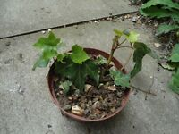 Plants for sale-Two English ivy plants