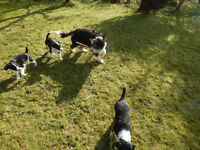 Bearded Collie Cross pups