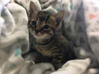 Kitten - tiger striped kitten