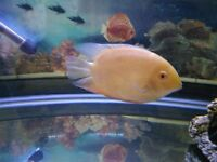 Pair Of Yellow Severums 9/10 Cms + 1 Red Neck Severum 8/9 Cms Quick Sale £27