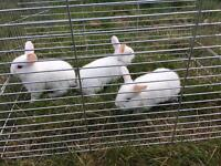 Rabbits babies for sale