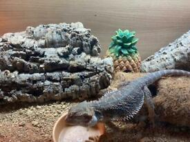 6 month old bearded dragon with vivarium and extras