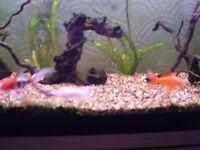 3x fancy Goldfish for sale