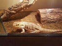 Male bearded dragon with vivarium