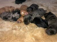 Cavapoo puppies MERLE. DNA clear parents