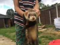 2 ferrets and run
