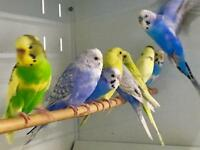 Best Budgies