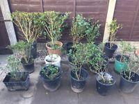 Evergreen privet hedges