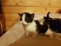 2 black and white kittens both girls. Ready for their forever home on 29th August