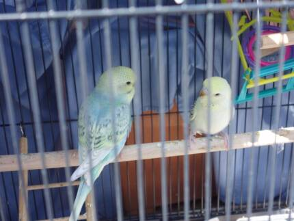BABY BUDGIES Hallett Cove Marion Area Preview