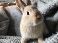 Gorgeous Netherlands Dwarf Rabbit- female