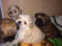 Cavachon chihuahua puppies