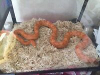 Corn Snake with complete set up Vivarium Heat mat Accessories etc