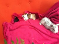 3 baby lion head rabbits -