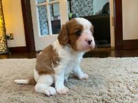 King Charles Cavalier Puppy - KC Registered