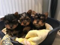 Mini yorkie puppies Yorkshire terrier