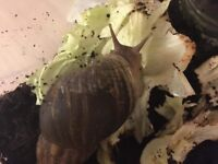 3 Giant African Land Snails. 3 years old. Shells 14cms long.