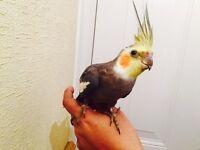 Cockatiel Baby Matuation Grey Tame Parrot