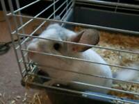 Chinchilla needs a new home