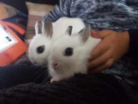 2 netherland dwarf hotot boys 3 months old