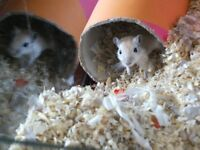 Young Gerbils (Male & Female)
