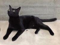 Black Cat Found Highgate London N6 June 13th, seeks loving owner