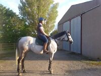 16.2hh Grey Gelding *** PRICE REDUCED! ***