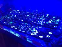 Marine fish tank frags, corals, mushrooms, zoa colonies and more!
