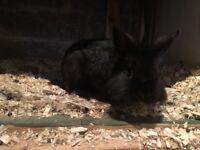 Netherland dwarf/lion head bunnies