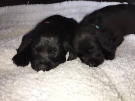 Cocker Spaniel Pups- Males