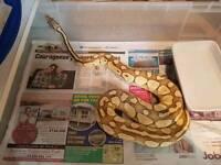 Male Lesser pastel royal python