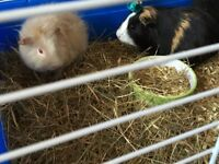 Mummy &2baby Guinea pigs &cages.