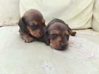 KC registered Mini Smooth Dachshunds, Champion Sired