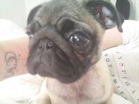 baby pug girl for sale