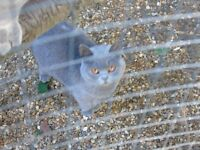 2 pedigree blue british shorthair kittens 11 months females