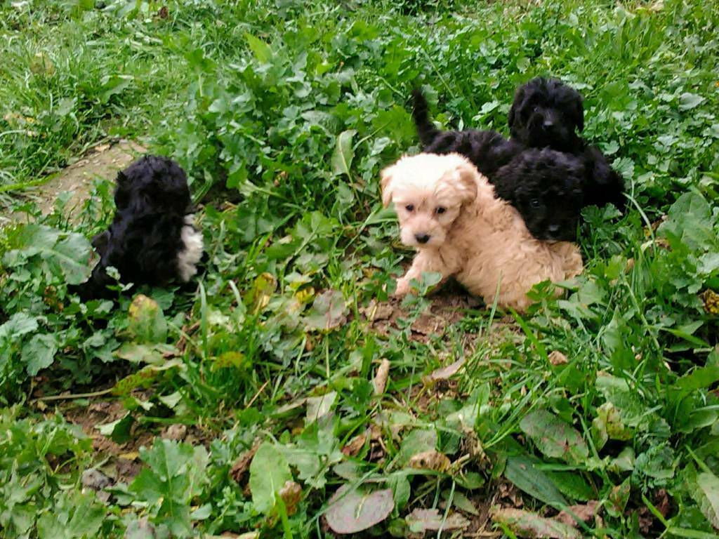 Yorkiepoos For Sale!! | in Cookstown, County Tyrone | Gumtree