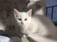 Beautiful white kitten