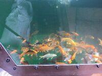 koi fish £6.00 each