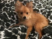 Pomeranian female for sale!
