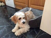 Cavachon puppy for sale