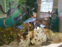 African Cichlid Tropical fish