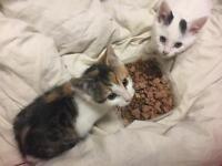 8wks old kittens for sale £175