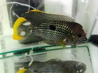Unusual tropical fish for sale in Kincardine on forth