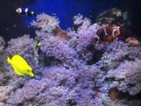 Live rock with pulsing Xenia from 6 yr old marine tank